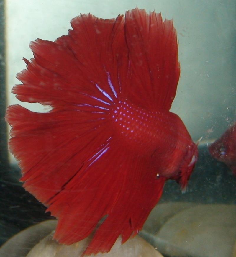 Double repro HM rouge x HM cambodge rouge, et HM bleu x HM bleu (avec des taches rouges) K11