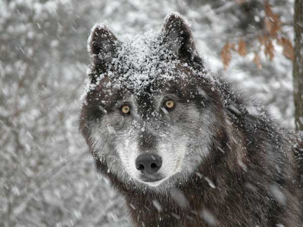 Loups !! (lien avec photo de loups...) 00075510