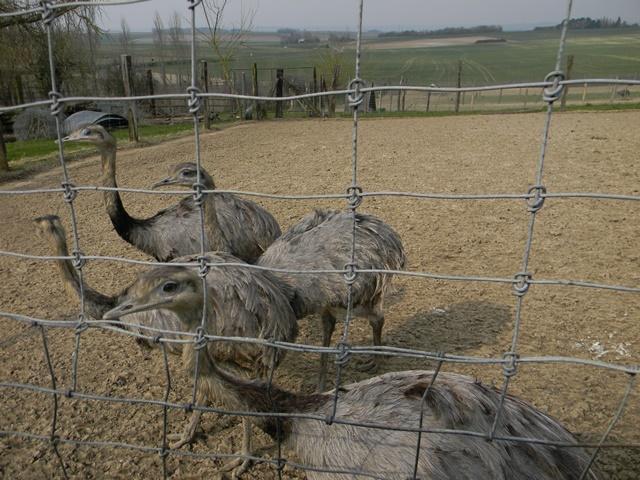 La ferme aux autruches Dscn1225