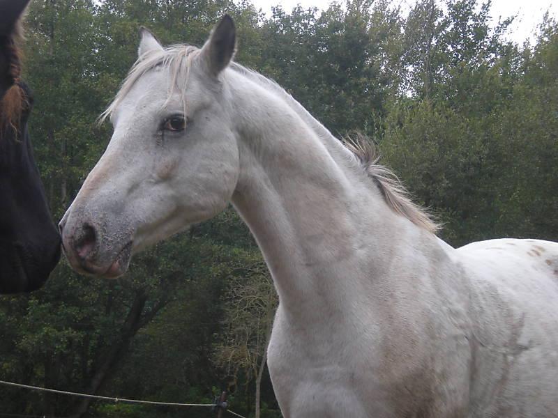 (28) HASARI hongre 13 ans appaloosa PP montable 600e Apaloo10