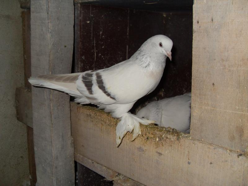 güvercin resimleri Sdc10511