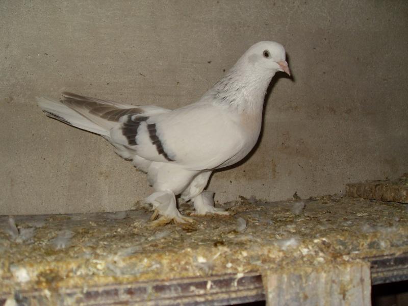 güvercin resimleri Sdc10512