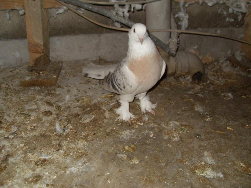 güvercin resimleri Sdc10514