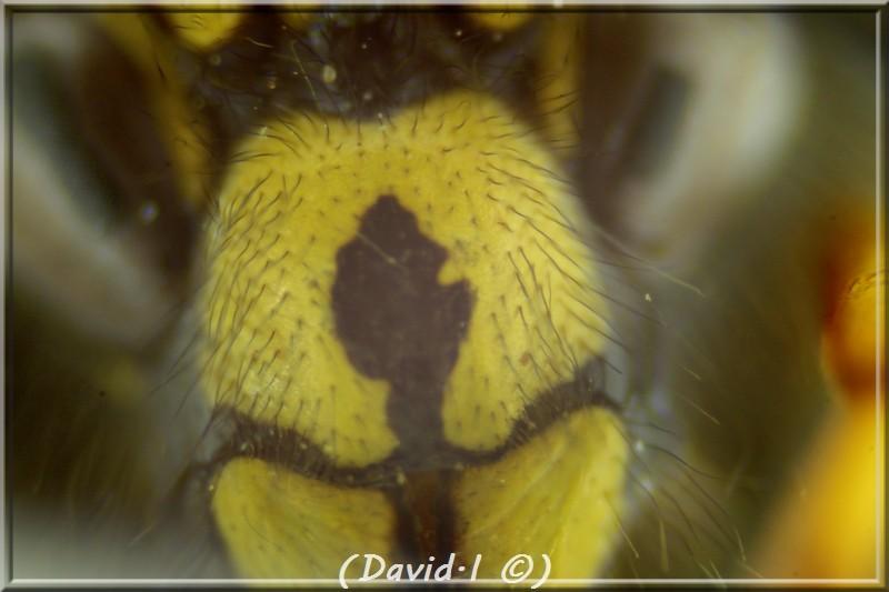 Dolichovespula adulterina (du Buysson 1905) mâle Clyp_h10