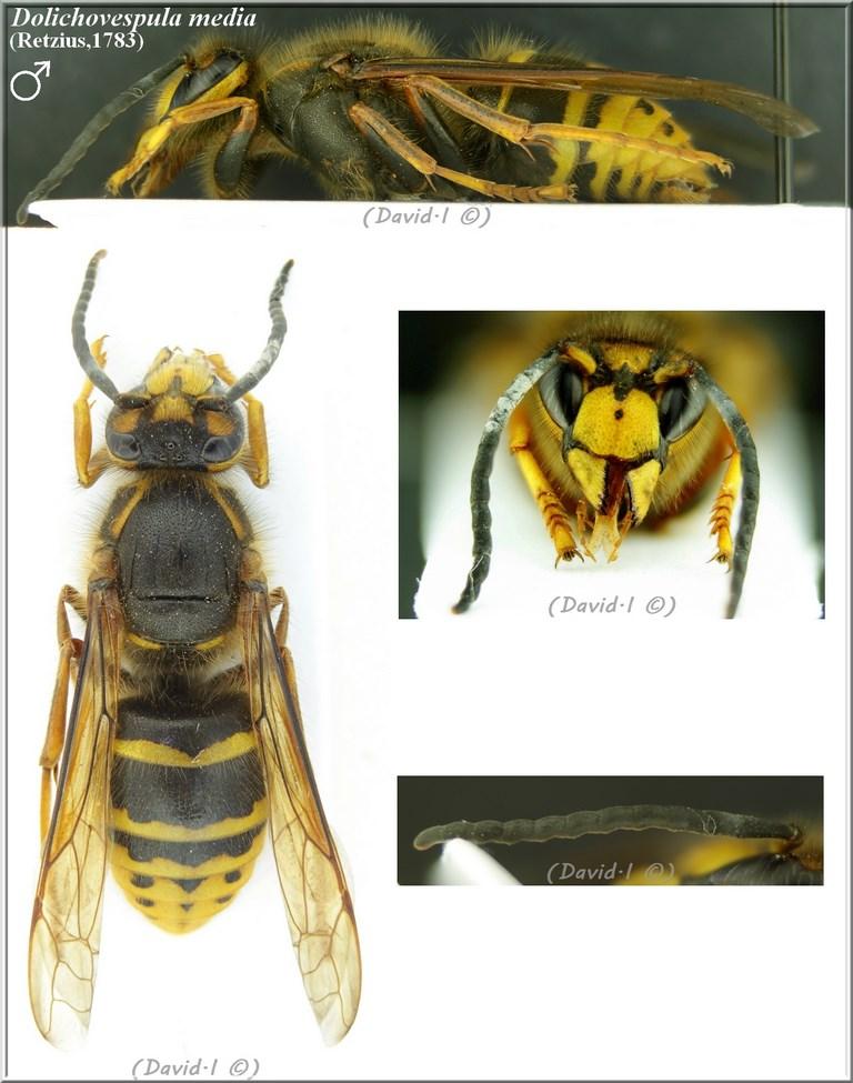 Dolichovespula media (Retzius 1783) mâle D_medi10