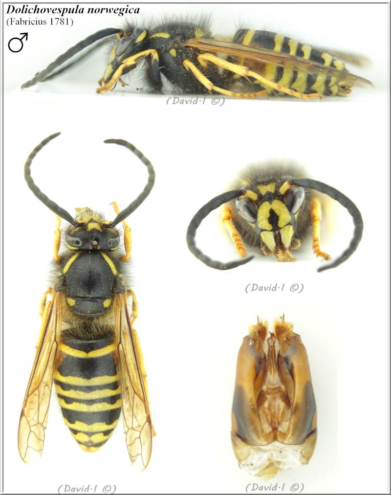 Dolichovespula norwegica (Fabricius 1781) mâle D_norw10