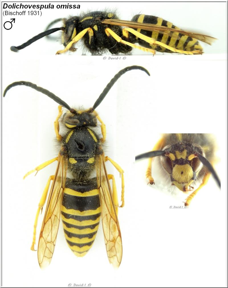 Dolichovespula omissa (Bischoff 1931) mâle D_ommi10