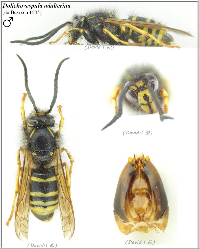 Dolichovespula adulterina (du Buysson 1905) mâle Hym21411