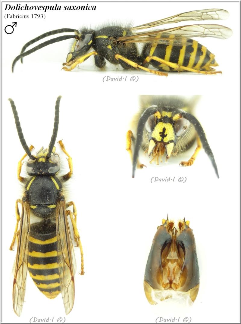 Dolichovespula saxonica (Fabricius 1793) mâle Hym21612
