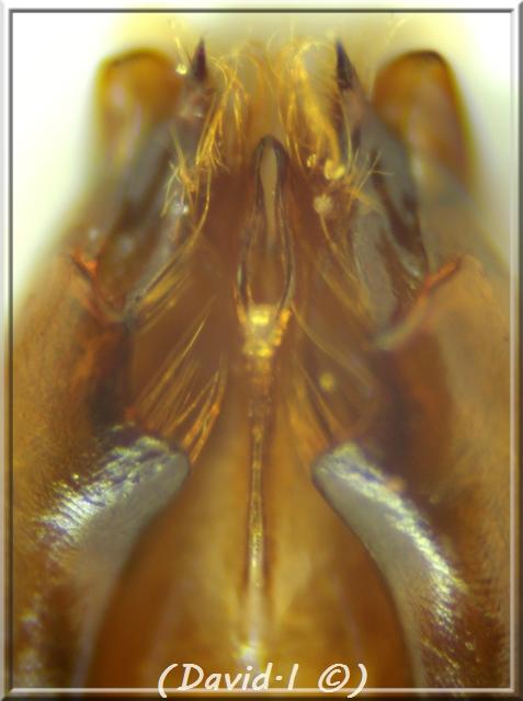 Dolichovespula adulterina (du Buysson 1905) mâle Sans10