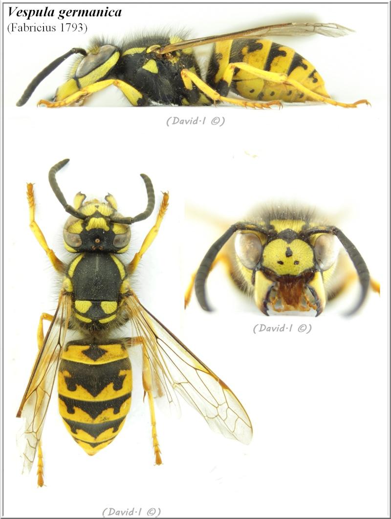 Vespula germanica (Fabricius 1793) ouvrière Vespul10