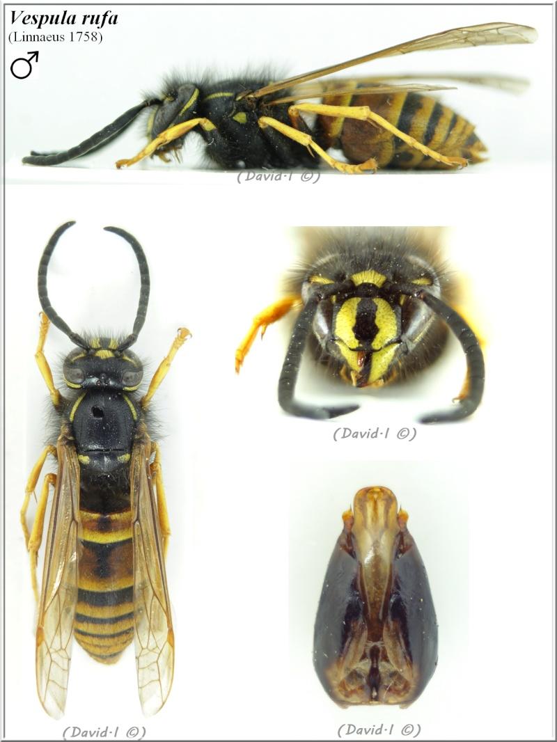 Vespula rufa (Linnaeus 1758) mâle Vespul12