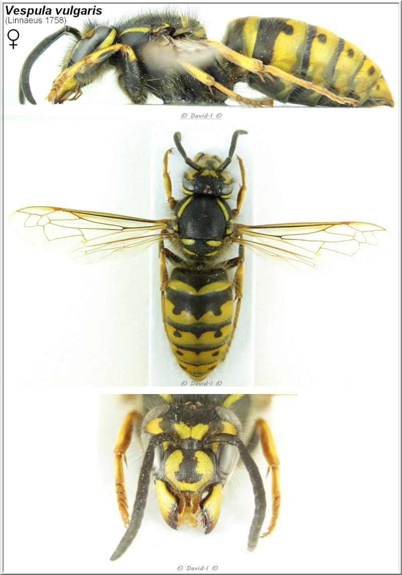 Vespula vulgaris  (Linnaeus, 1758) femelle Vespul14