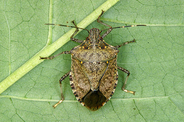 The brown marmorated stink bug Brownm10