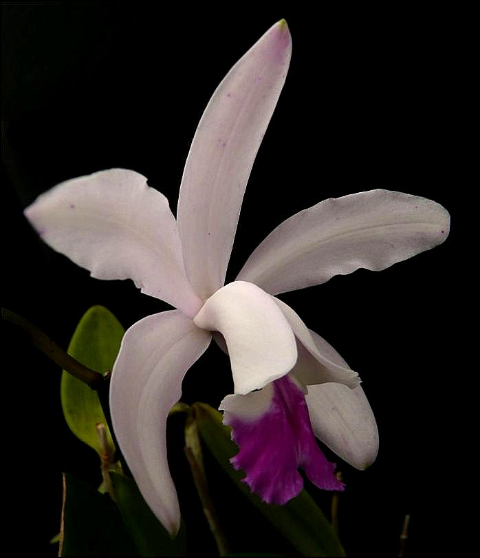 Cattleya intermedia Cattle24