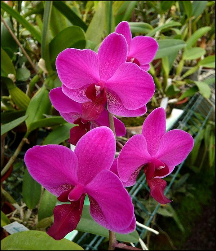 Phalaenopsis Miva Starlet 'Croisette' Phalae11