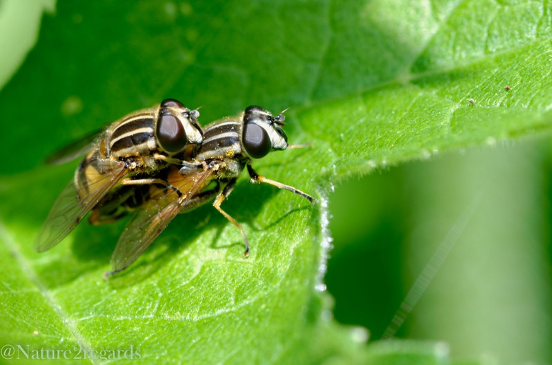 Heliphilus trivittatus ? 18052010