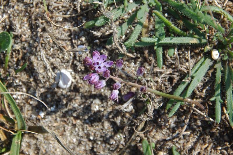 Plantes à Hoëdic (Scilla autumnalis et Galium arenarium) Imgp1715