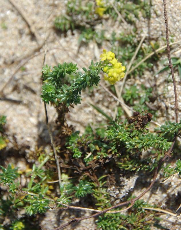 Plantes à Hoëdic (Scilla autumnalis et Galium arenarium) Imgp1716