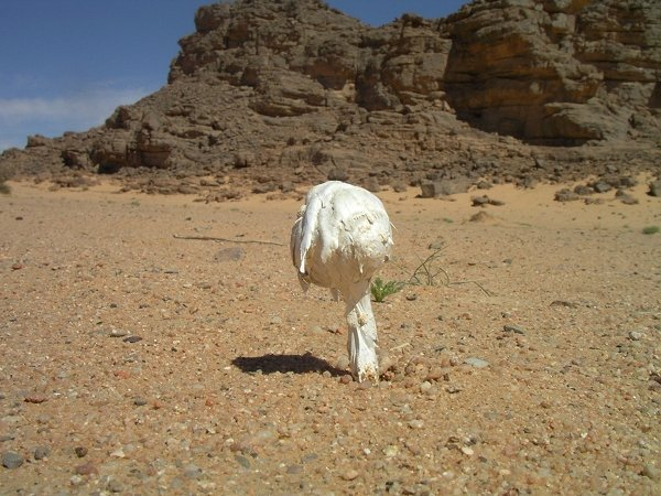 "La chasse aux champignons ""comestibles"" au Sahara Champi10"