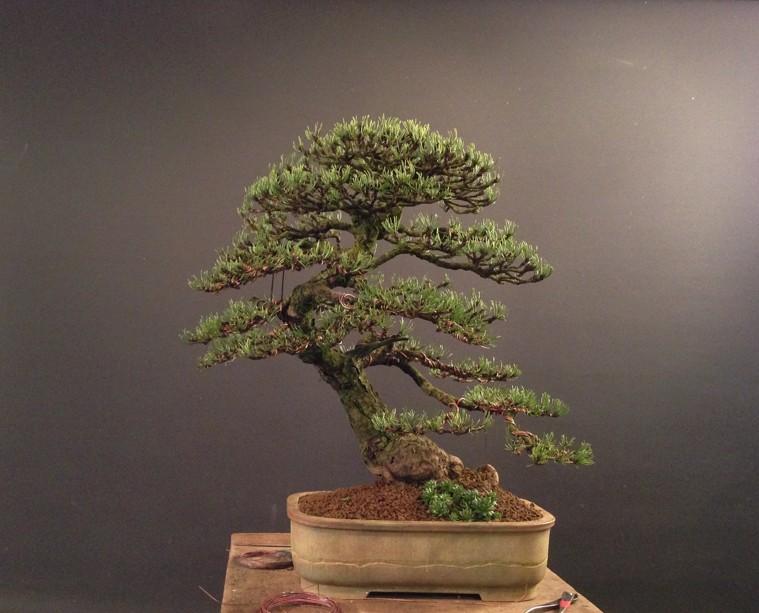 Pinus mugo 2004 - Page 3 A_210