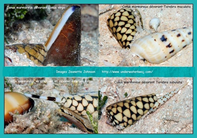 Nettoyage cypraea Conus_16