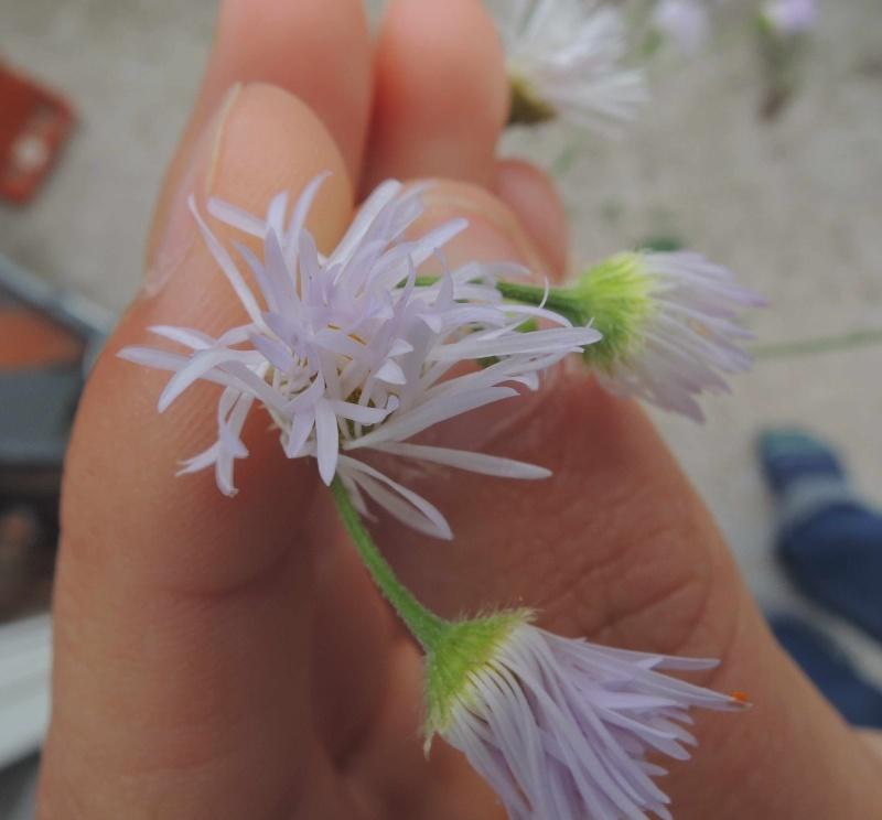 asteracee, bordure de champs Fleur110