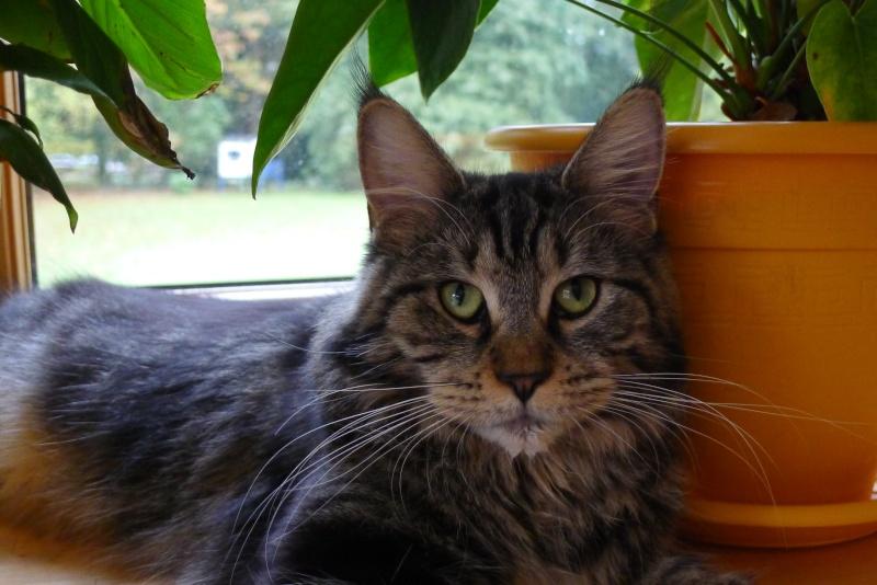 Perdu GAÏA chate tigrée à poils longs à 35 PLELAN LE GRAND (mars 2013) L1010510