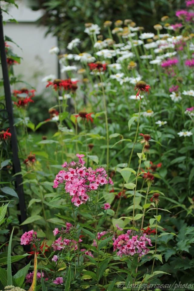 "Phlox Paniculata ""Red Caribbean "" Img_4114"