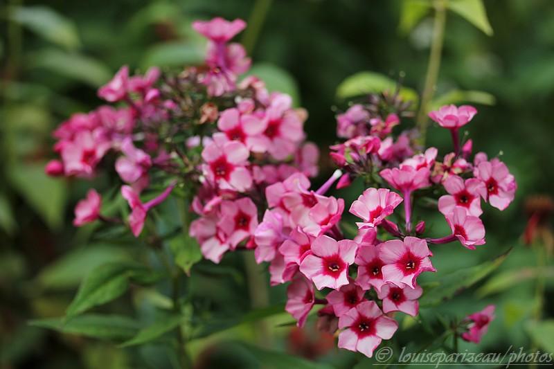 "Phlox Paniculata ""Red Caribbean "" Img_4115"