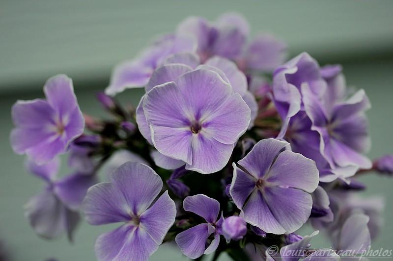Phlox paniculata Franz Schubert Img_4118