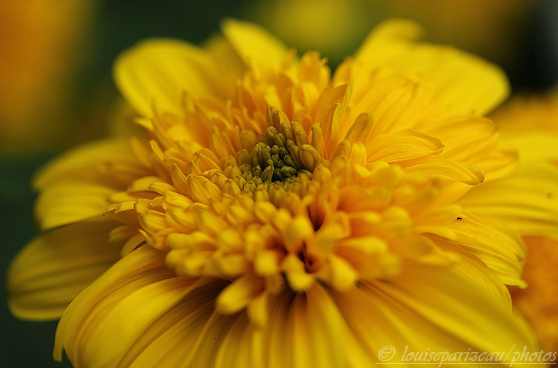 "Helianthus ""Happy Days"" Img_4122"