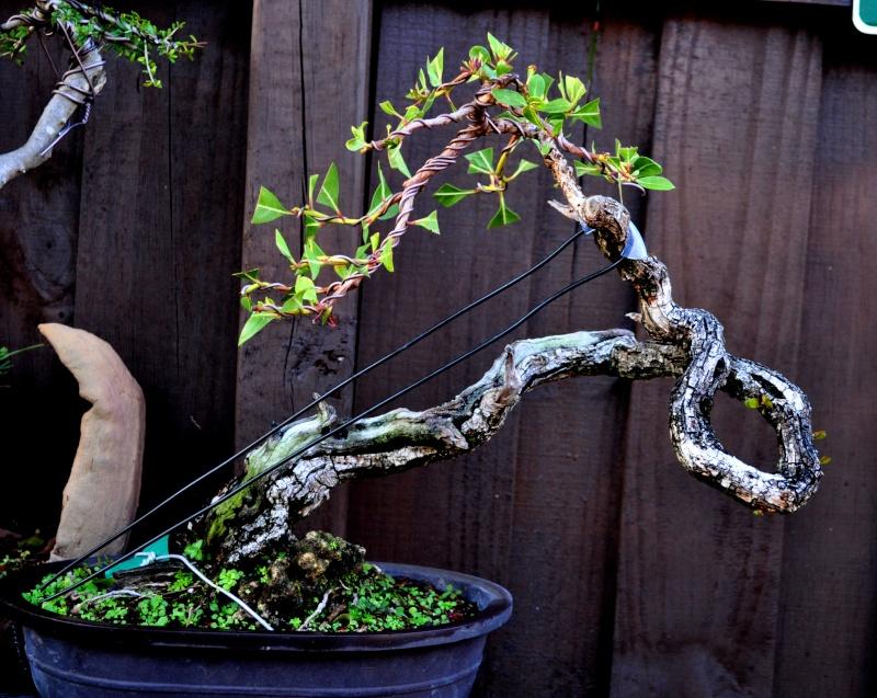 Conocarpus Erectus-Buttonwod.... Spring11