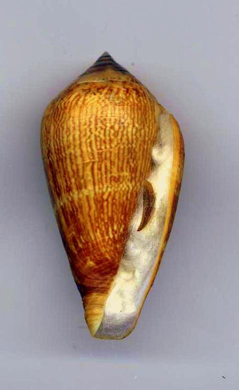 Conus (Lautoconus) hybridus - Kiener, 1847 Hybrid10