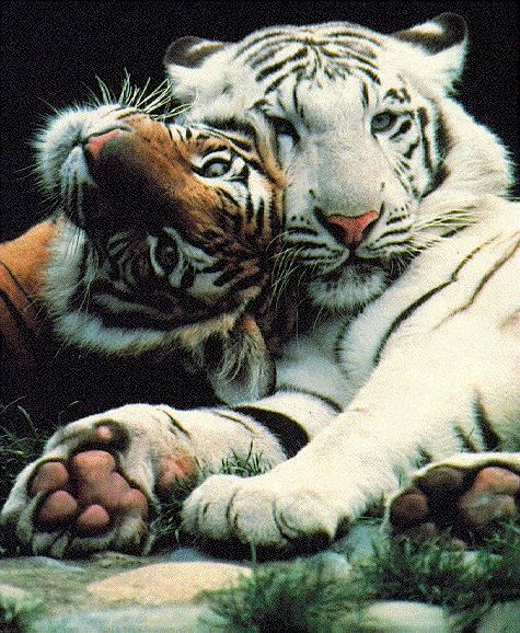Impressive Shots.... - Page 6 Tigers11