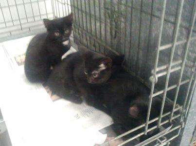 2 soeurs noir  de 2 mois en fa sur orange   161_1610