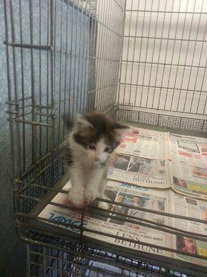 PATCHOULI   6 semaines   cage 165  sera en fa en septembre  165_pa10