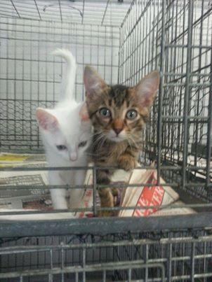 TITI  chaton blanc   cage nr 171  171_ti10