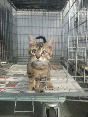 TIGRI  petit chaton  tigré  cage nr  173 173_ti10