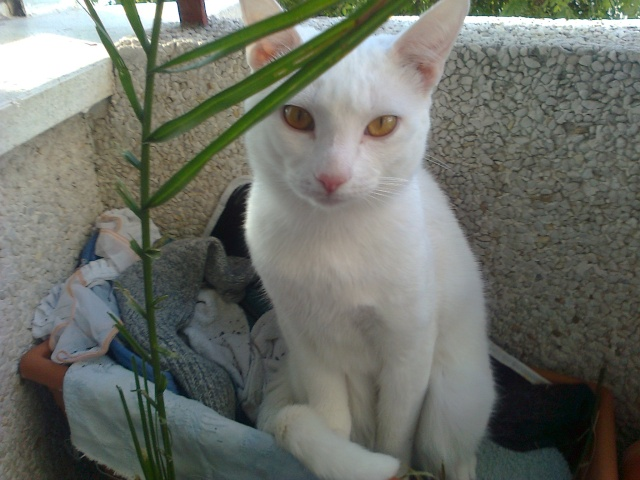 CHARLI  blanc aux yeux  couleur or  Photo010