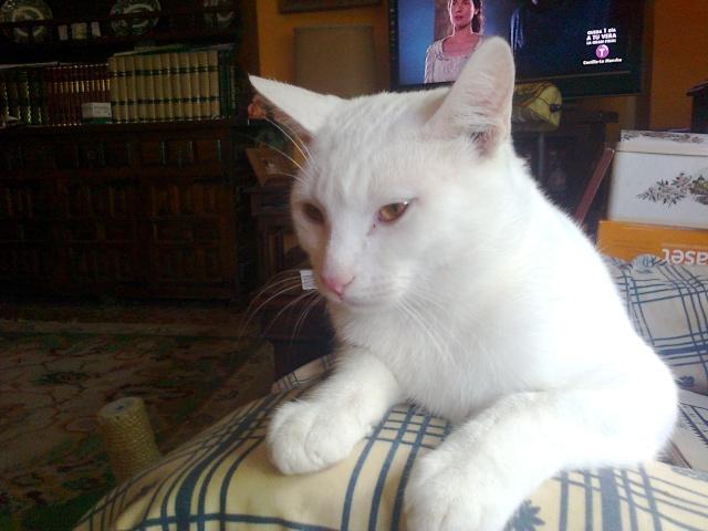 CHARLI  blanc aux yeux  couleur or  Photo012