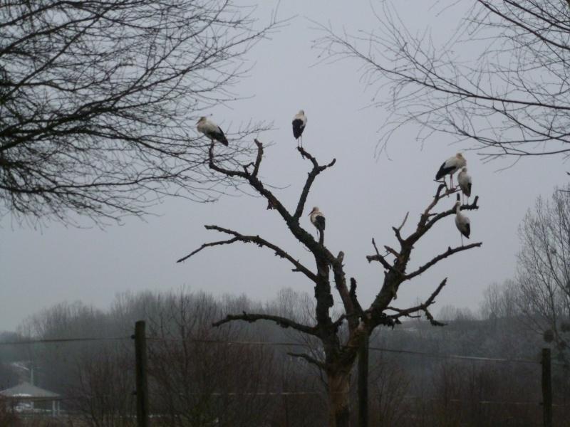 Les cigognes annoncent-elles le printemps ??? P1020111