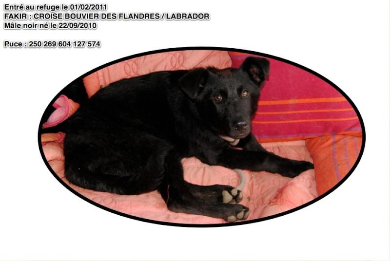 FAKIR Croisé Bouvier des Flandres / Labrador Fakir10