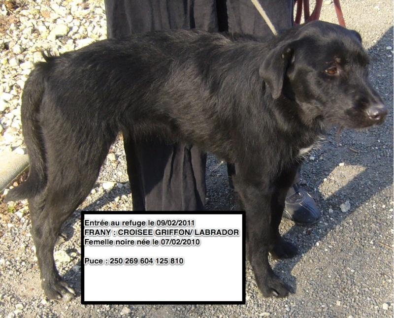 FRANY Croisée Griffon/Labrador noire 250269604125810 en CA Frany10
