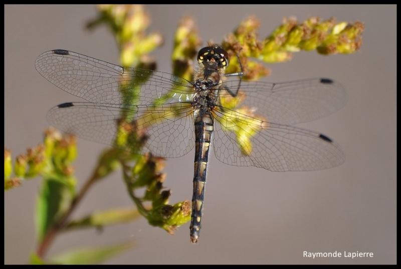 Sympétrum noir-sympetrum danae-femelle Dsc_0613