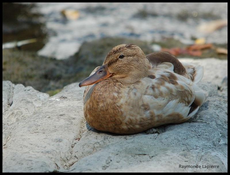 Drole de canard... Dsc_2718