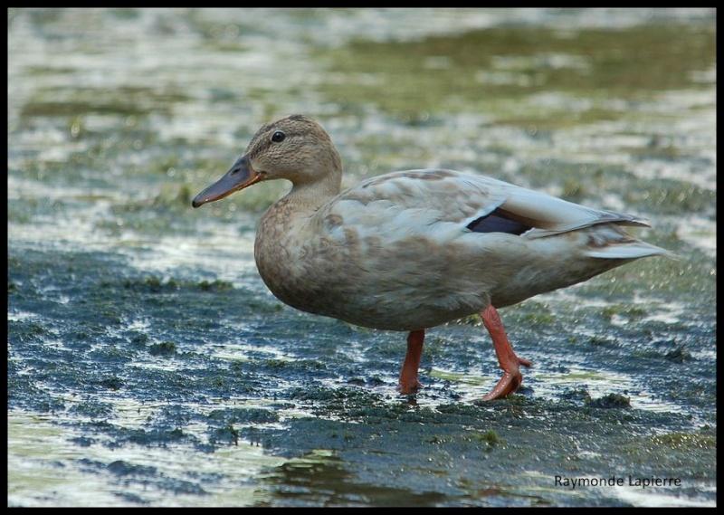 Drole de canard... Dsc_2811