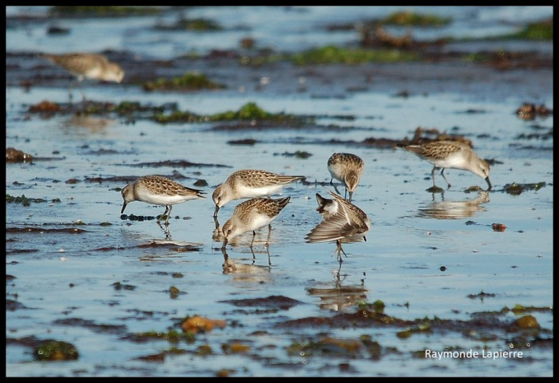 Bécasseaux sanderlings Dsc_3010