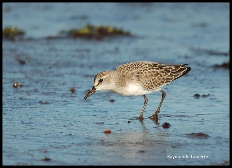 Bécasseau sanderling Dsc_3110