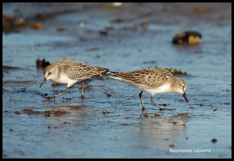 Bécasseaux sanderlings Dsc_3113